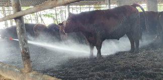 Phun vi sinh cho chuồng trại bò