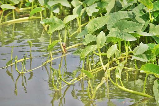 rau muống nước ăn cực ngon khi mùa mưa về