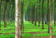 Kiến thức trồng chăm sóc cây cao su từ A tới Z