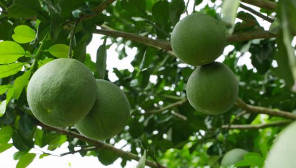 Đòn bẩy phát triển cây ăn trái tại Sóc Trăng - Quy hoạch vùng trồng