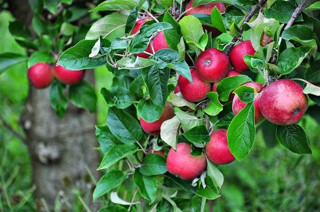 Chàng thanh niên thứ 2 quyết định trồng giống táo đó trên một mảnh vườn