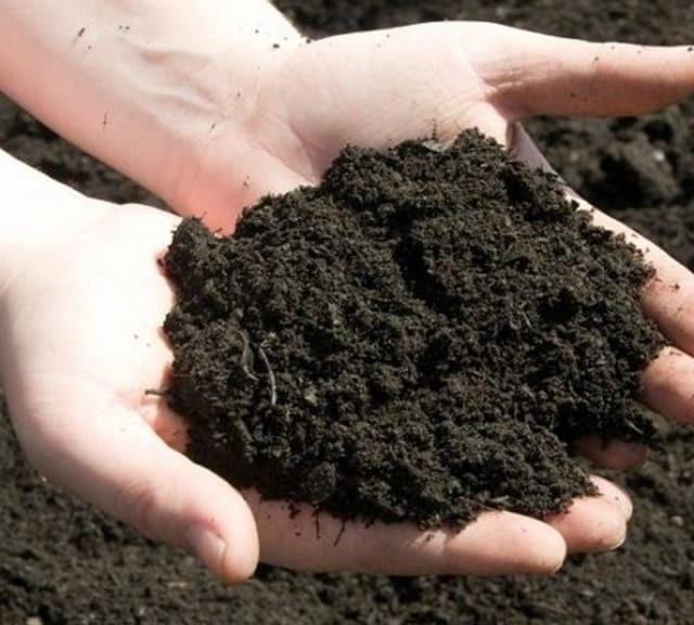 Đất trồng cây lộc vừng con phải xốp, đầy đủ dưỡng chất