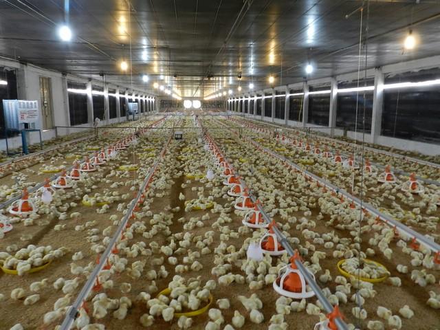 Mô hình chăn nuôi gà trong chuồng lạnh bằng công nghệ cao