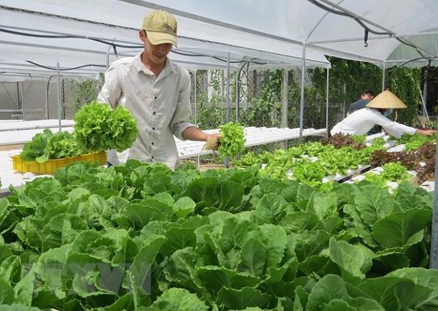 Trồng rau công nghệ cao là ứng dụng các kỹ thuật tiên tiến để tăng năng suất cây trồng