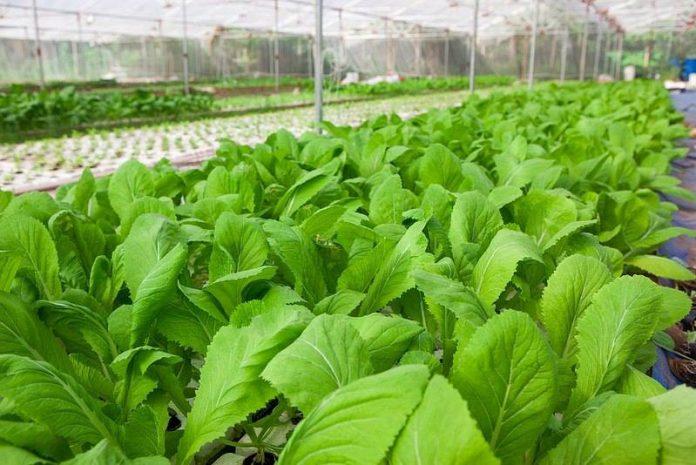 dịch vụ cho thuê đất trồng rau