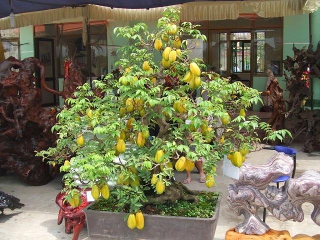 Cây khế ngọt sai quả và thường được trồng làm cảnh