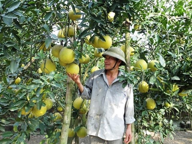 Trồng bưởi công nghệ mới hiện tại đang được nhiều nông dân áp dụng