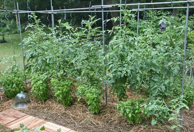 Trồng cà chua vào đúng mùa vụ cho năng suất cao hơn
