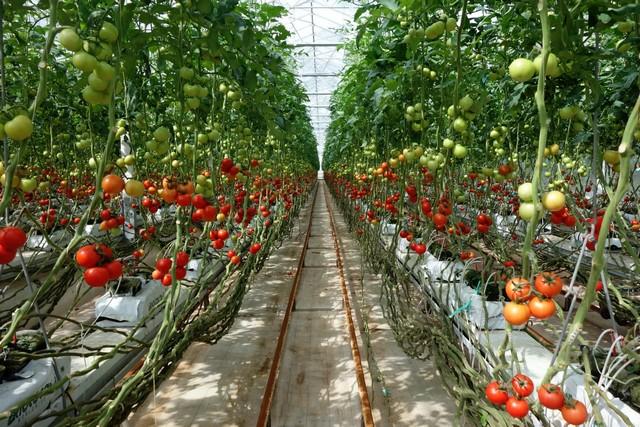 Cà chua trồng đúng kỹ thuật sẽ cho ra năng suất và chất lượng cao