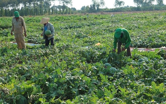 Những hàng dưa hấu nên được che màng phủ nông nghiệp để bảo vệ cây
