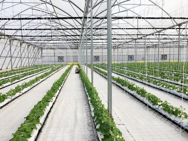 Dưa lưới trồng nhà kính được chăm sóc theo phương pháp tiên tiến