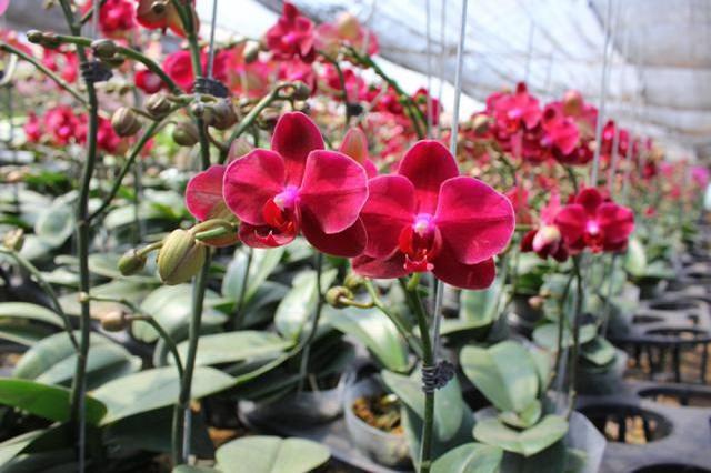 Lan hồ điệp là giống hoa rừng với nhiều màu sắc khác nhau mang lại nét đẹp độc đáo
