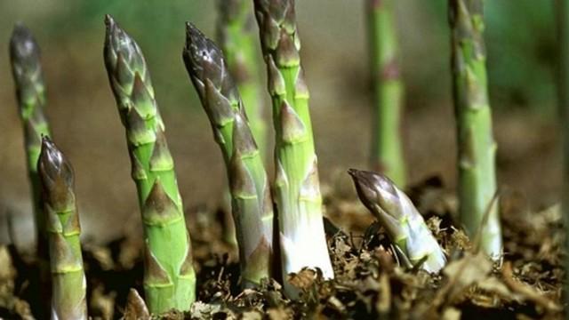 Hướng dẫn kỹ thuật trồng măng tây xanh cho năng suất cao nhất