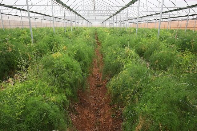 Măng tây thích hợp trồng trên đất luống