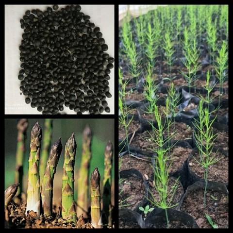 Ươm cây giống là bước quan trọng trong kỹ thuật trồng măng tây xanh