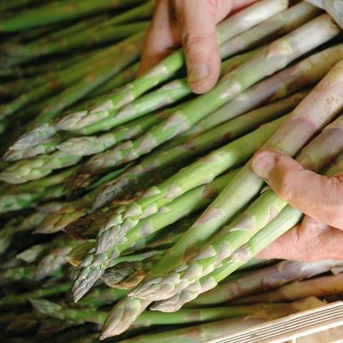 Măng tây thường được thu hoạch sau khoảng 6 tháng
