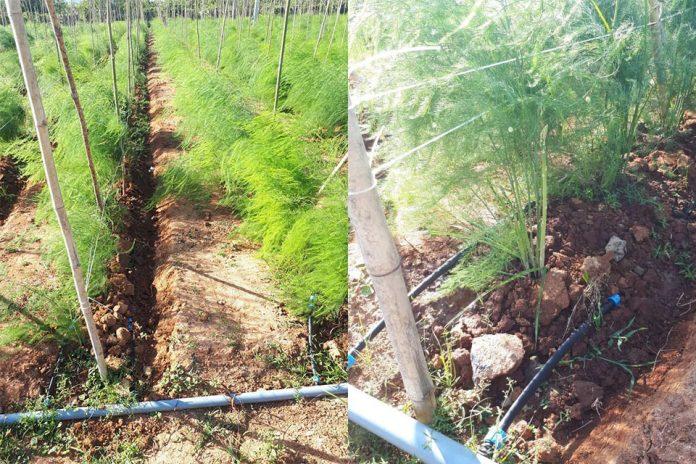 kỹ thuật trồng măng tây