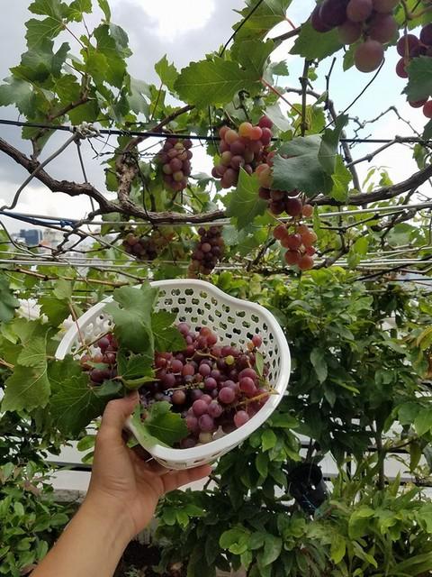 Mách bạn kỹ thuật trồng nho trên sân thượng ăn không hết quả