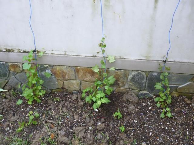 Nho trồng trên sân thượng nên chọn nơi nhiều ánh nắng và thoáng mát