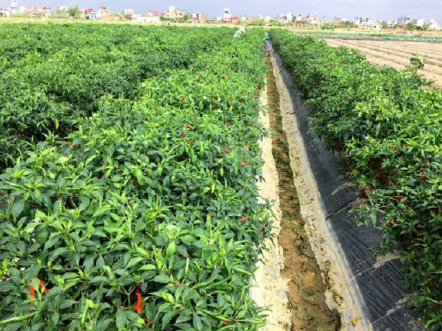 Cần làm bề mặt đất tơi xốp trước khi tiến hành trồng ớt chỉ thiên