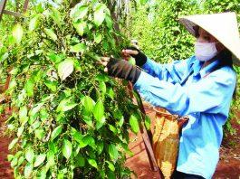 ngành tiêu Việt