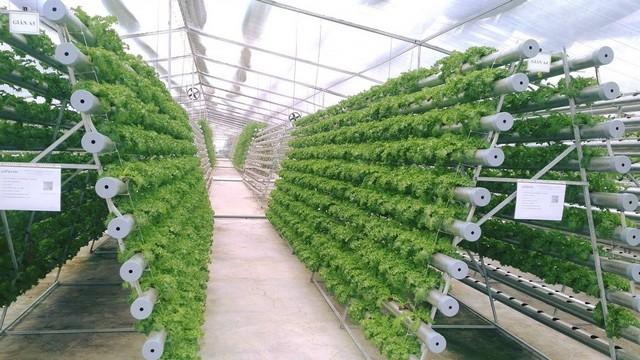 Mô hình trồng rau sạch theo kỹ thuật thủy canh trong nhà kính tại Việt Nam