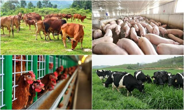 Mô hình chăn nuôi công nghệ cao đang được áp dụng rộng rãi tại nước ta