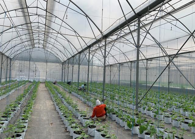 Mô hình trồng dưa lưới trong nhà kính ở nước ta