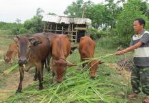chăn nuôi bò hướng thịt