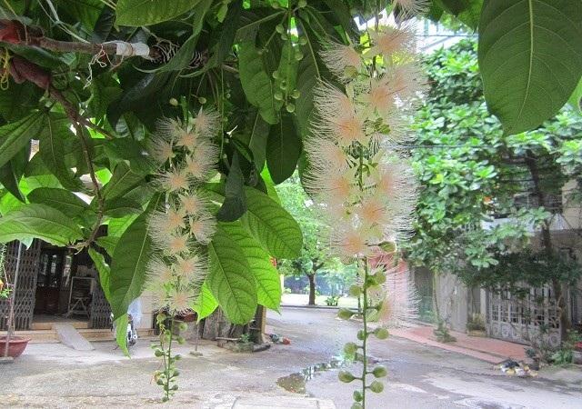Lộc vừng trắng có màu hoa rất đặc biệt