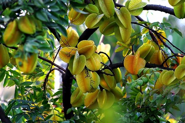 Vào mỗi cuối thu là mùa thu quả khế, quả khế khi chín có màu vàng đẹp mắt