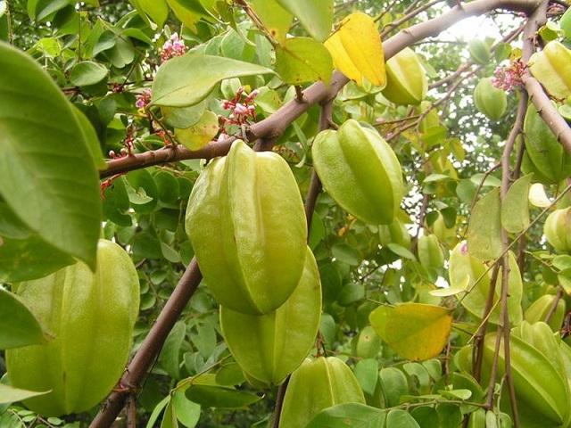 Khế là loại cây quen thuộc với mọi người dân Việt