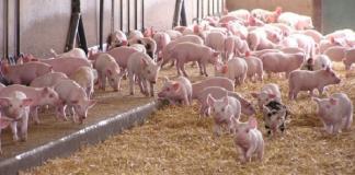 tái đàn lợn