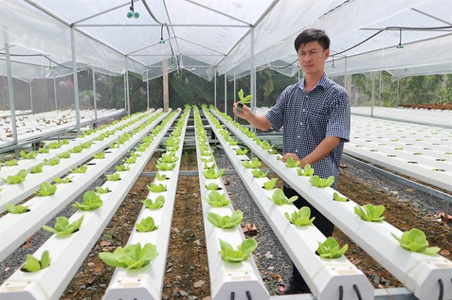 Vườn rau thủy canh thường sẽ được trồng trong nhà kính, nhà màng