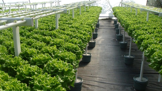 Khi trồng rau thủy canh cần chú ý đến những yếu tố nhất định như: Môi trường, điều kiện khí hậu, nước và cách chăm sóc