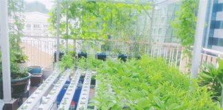 trồng rau thủy canh tại nhà