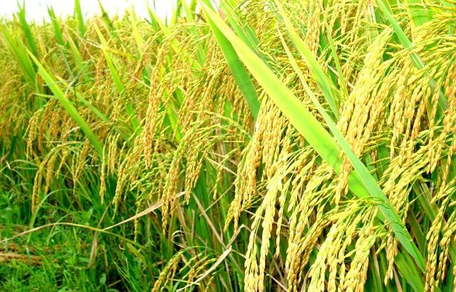Công dụng của bả chuột giúp cho lúa tránh khỏi những con chuột phá hoại mùa màng