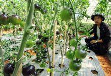 trồng cà chua bằng giá thể trong nhà kính