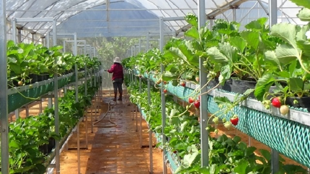 Nhân công làm trong vườn dâu tây công nghệ cao cần được trang bị kỹ năng cần thiết