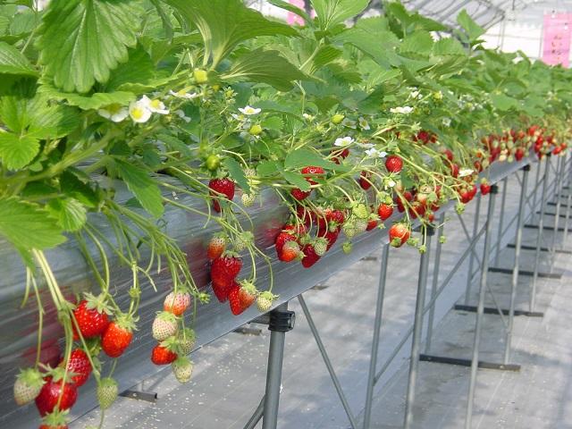 Trước khi tiến hành trồng dâu tây công nghệ cao cần quan tâm đến nhiều yếu tố