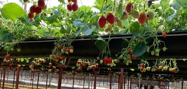 Vườn dâu được ứng dụng những công nghệ hiện đại nhất để tăng năng suất và chất lượng