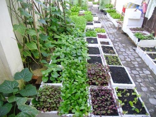 vườn rau sạch tại nhà