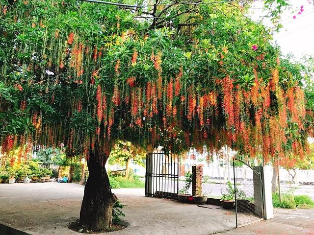 Cây lộc vừng là loại cây quen thuộc và được trồng ở nhiều nơi