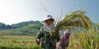 Mùa gặt vùng cao 3