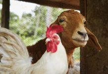 Phân gà và phân dê
