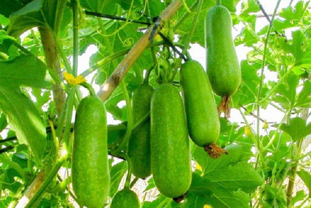 Thời vụ trồng bí xanh tốt nhất là vào đầu tháng 9 dương lịch