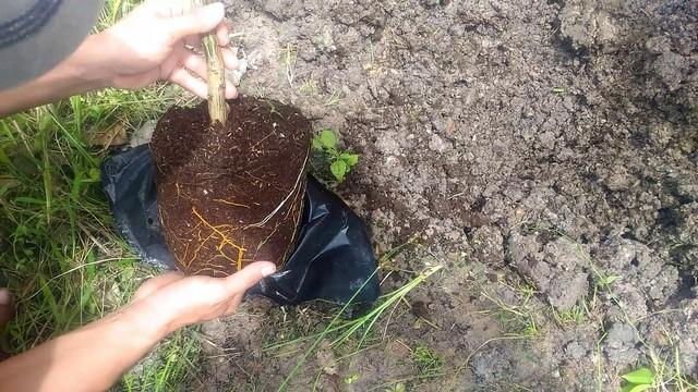 Đất trồng bưởi da xanh cần được canh tác đúng cách trước khi tiến hành trồng cây giống