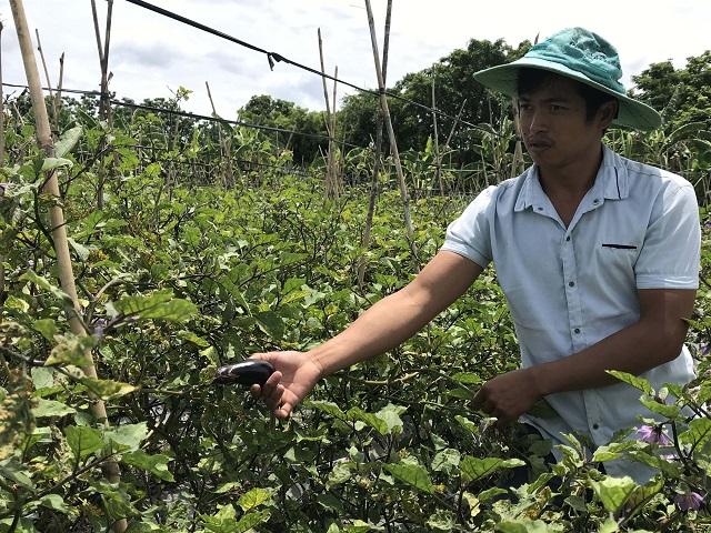 Người nông dân cần chú ý chăm sóc cây cà tím theo từng giai đoạn phát triển