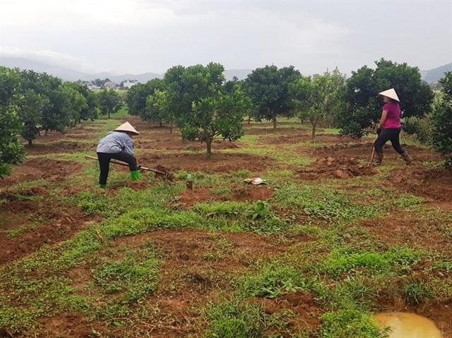 Canh tác đất trồng cam đúng cách giúp tăng sức sống cho cây trồng