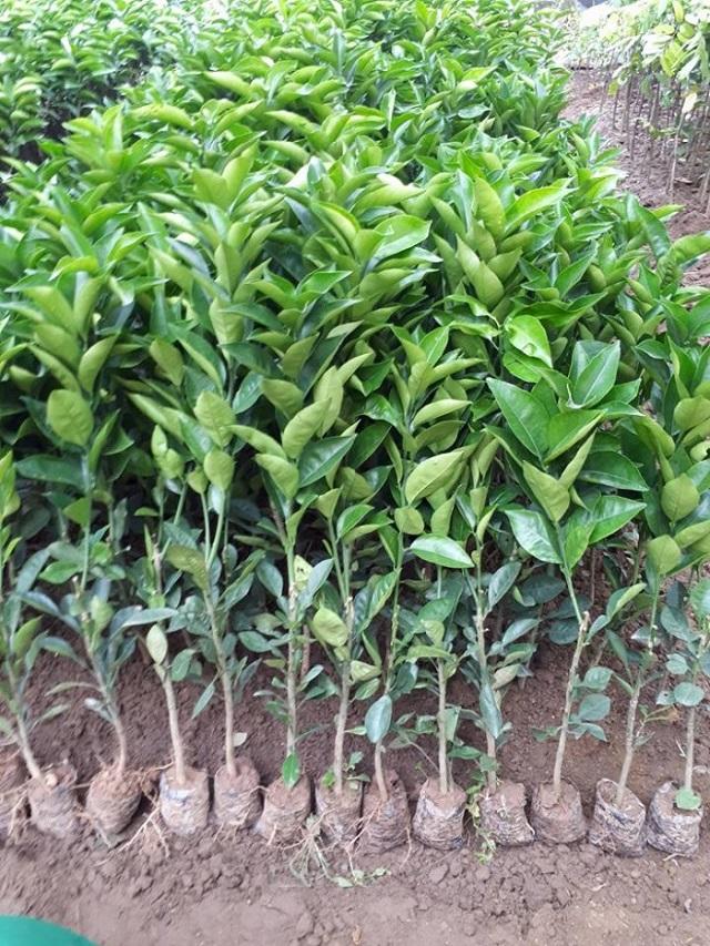 Trước khi trồng cam sành cần bón phân lót cho các hố trồng
